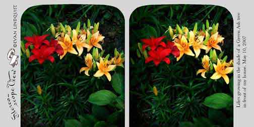 Evan Lindquist artist-printmaker, stereoview card, Lilies