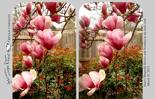 Evan Lindquist artist-printmaker. stereoview card of saucer magnolia blossoms