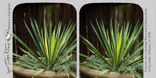 Evan Lindquist artist-printmaker, stereoview card, Yucca in an urn